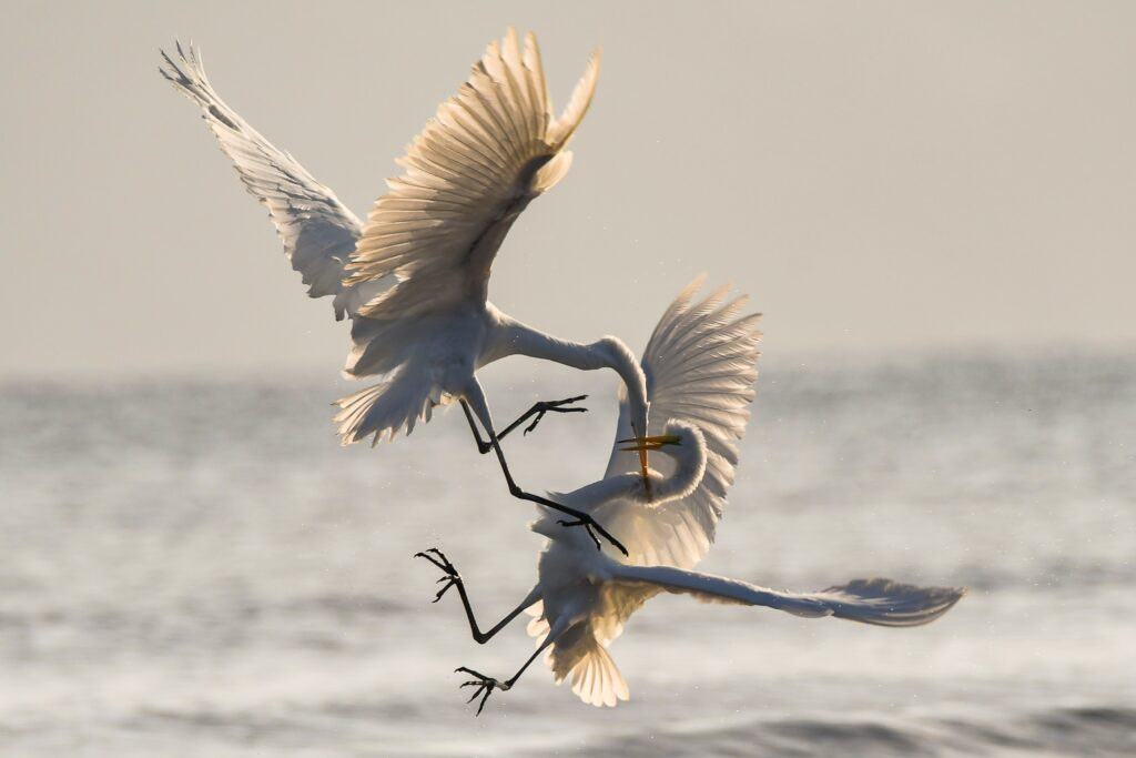 Kämpfende Vögel, als Sinnbild möglicher Aggressionen